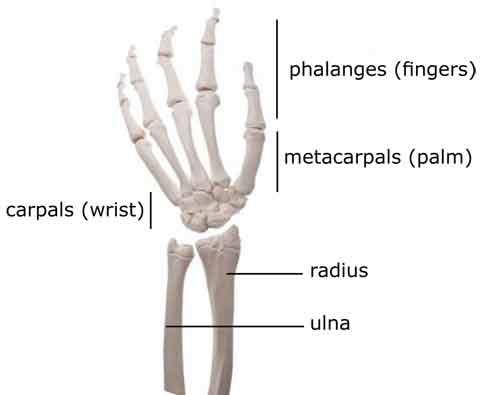 Anatomy Of The Thumb